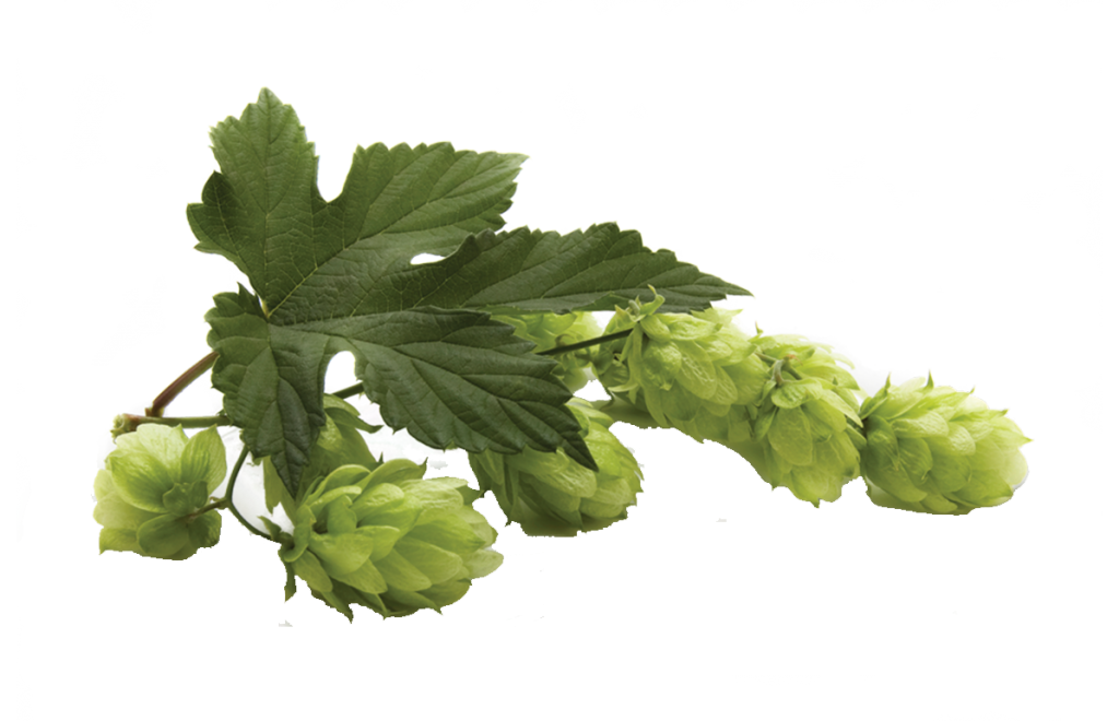 terpene-humulene-hops-curedbynature-ok