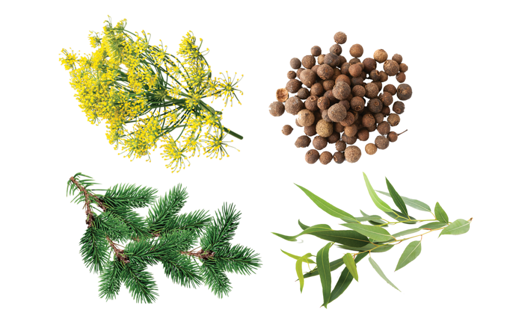 terpene-phellandrene-eucalyptus-balsam-fir-tree-allspice-fennel-curedbynature