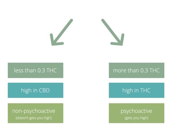 Differences-Between-Hemp-and-Marijuana-ok
